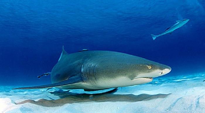 Más de 4.500 firmas pidiendo que Canarias sea considerado un santuario de tiburones y rayas