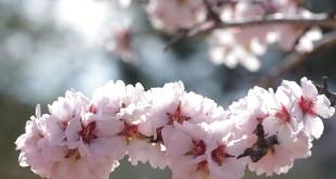 """El tema debe versar sobre el """"Almendro en Flor"""" siendo para ello obligatorio que el paraje de la fotografía se encuentre en el término municipal de Santiago del Teide."""